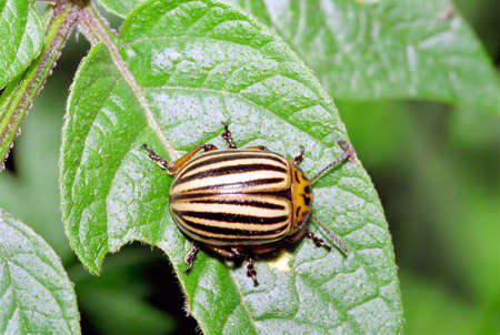 Colorado Beetle overview set on a potato plant leaf.