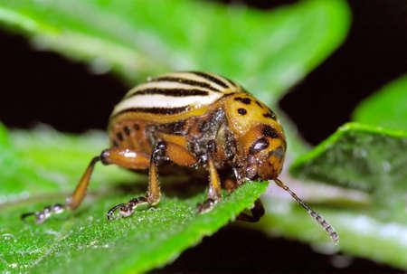 Colorado Beetle feeding on a potato plant leaf.
