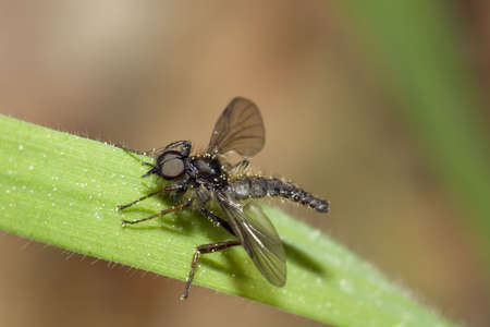 A black hairy march fly set on green grass. Stock Photo - 2843054
