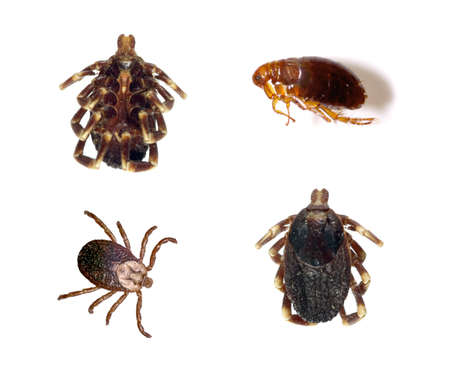 Several views of ticks and a flea isolated over a white background.