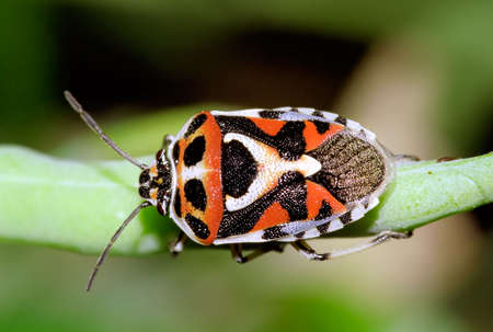 pentatomidae: An overview of  red, black and white bug. A pest for cabbage crops.