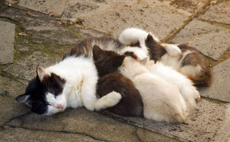 A black and white mother cat feeding four black and white kittens.