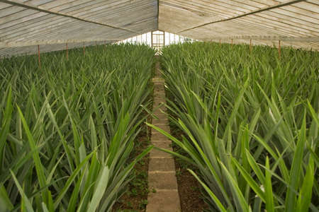 Fully grown pineapple plants in greenhouse cultivation, but still no flowers or fruit. Azores Stock Photo