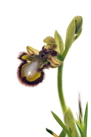 Wild orchid called Mirror Bee Orchid (Ophrys speculum speculum aka Ophrys ciliata) that can be found in Arrábida mountains, Portugal.