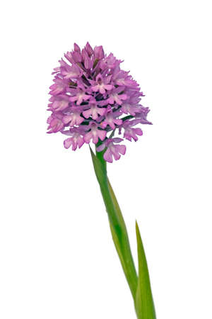 Wild Pyramidal Orchid over white background (Anacamptis pyramidalis aka Orchis pyramidalis) that can be found in Arr�bida mountains, Portugal. Full plant.