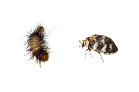 A tiny Carpet Beetle and larvae, Woolly Bear. Anthrenus verbasci, Dermestidae family.