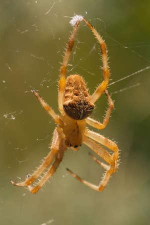dorsal: Una ara�a Araneus pallidus colgado en su web. Vista dorsal.