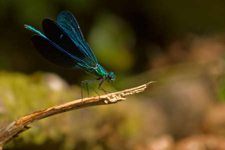 zygoptera: A metallic blue Damselfly, wings partialy open, set on a small twig over an out of focus background.