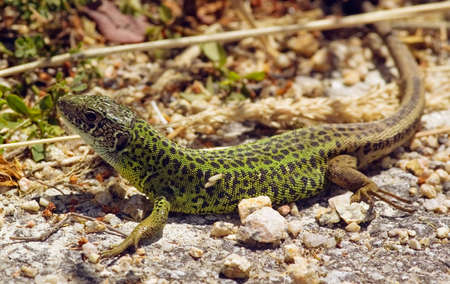 Side view of Schreibers Green Lizard, the Iberian water lizard. Lacerta schreiberi. Stock Photo
