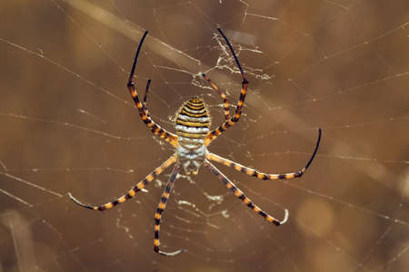 dorsal: Wasp spider, Argiope trifasciata, hanging on its web. Dorsal view.