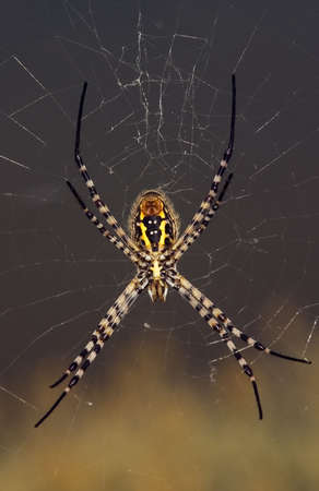 argiope: Wasp spider, Argiope trifasciata, hanging on its web. Ventral view.