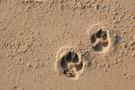 Two dog paw prints over wet sand. Stock Photo