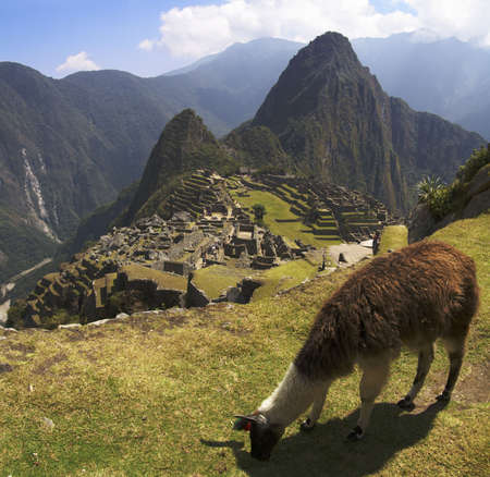 Lama grazing in a terrace over Machu Picchu