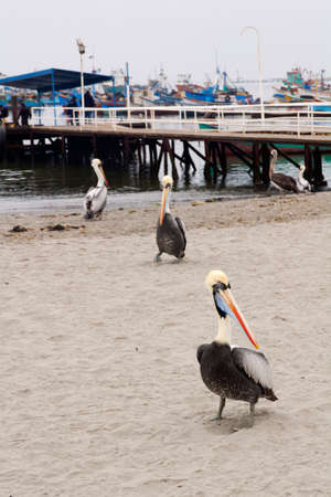 Peruvian Pelicans (Pelecanus thagus) at the beach in Paracas Reserve, Peru. Stock Photo