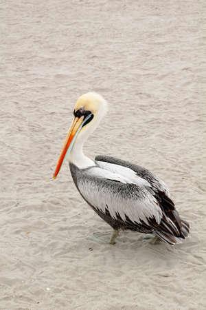 Peruvian Pelican (Pelecanus thagus) walking at the beach in Paracas, Peru. Stock Photo