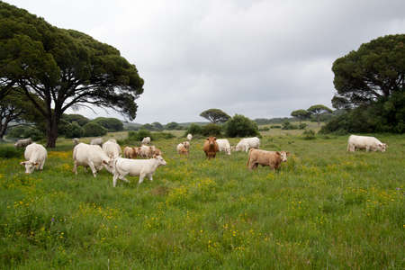 grassing: Herd of horned brown and white cows and calf grassing a field under an overcast grey sky.