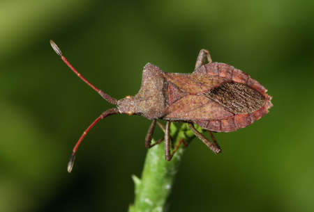 Overview of a brown squash bug. Coreus marginatus Stock Photo - 9898933