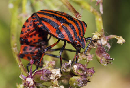 graphosoma: Two red and black bugs mating. Graphosoma italicum.