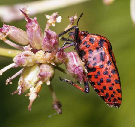 Graphosoma italicum bug profile showing stink glands. photo