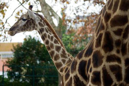 puzzelen: Twee giraffen het creëren van een raadselachtig patroon in de dierentuin
