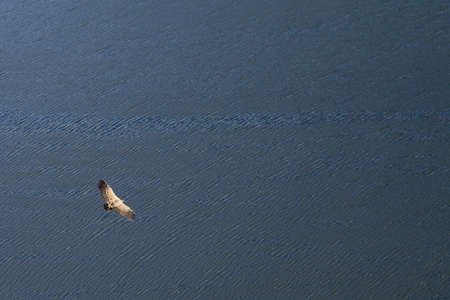 Griffon Vulture  Gyps fulvus  seen from above flying over water  Portas de Rodao, Vila Velha de Rodao, Portugal