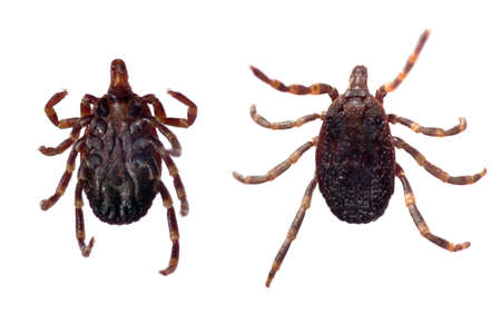Ventral and dorsal view of a tick (Hyalomma sp.) isolated over a white background.