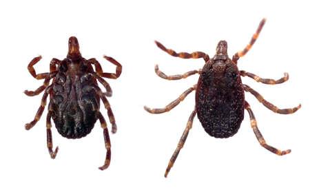 dorsal: Vista ventral y dorsal de una marca (Hyalomma sp.) Aisladas sobre un fondo blanco.