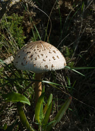 Lateral view of a Parasol Mushroom (Macrolepiota procera) amongst vegetation. photo