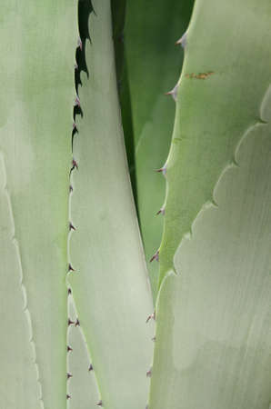 Aloe green background. The plant is American Aloe (Agave americana) also know as Century Plant or Maguey. photo