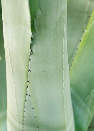 American Aloe (Agave americana) detail background. Also know as Century Plant or Maguey. photo