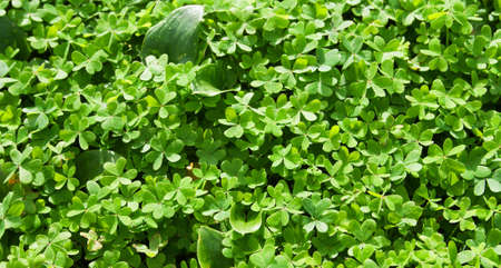 Closeup of three leaf clovers forming a green dense carpet on the ground. Sharp focus at the bottom. Stock Photo - 17816792