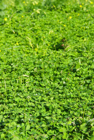 Perspective of a dense field of shamrocks. Sharp focus at mid bottom. Stock Photo - 17816791