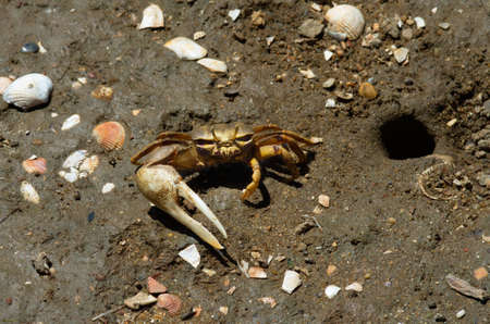 hideout: Fiddler Crab  Uca tangeri  facing the camera and showing its huge claw  Tavira, Algarve, Portugal