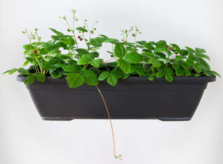 A rectangular flowerpot of european wild strawberry (Fragaria vesca) plants with white flowers and red fruit.