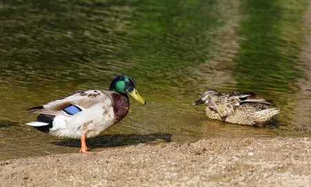 anas platyrhynchos: Male and female Mallard ducks  Anas platyrhynchos  by the lake bank  AKA wild duck  Sintra, Portugal