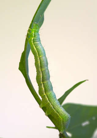 Green inchworm caterpillar (Geometridae family), hanging to a twig and half eaten leaf isolated over light background. photo