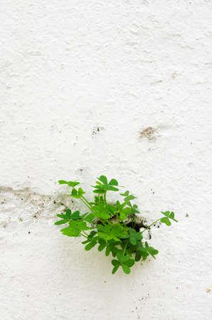 breaking through: Tres plantas de hoja de tr�bol romper a trav�s de una pared pintada de blanco. Versi�n vertical.