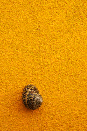 cryptic: Snail of large and cryptic brown colours on a bright yellow wall. Stock Photo