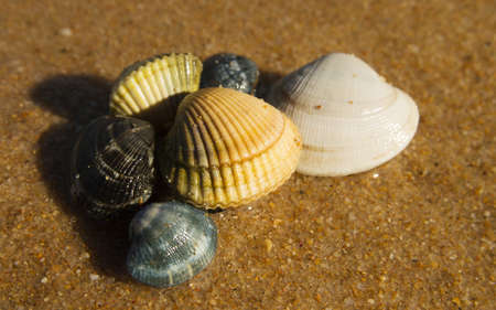 cockles: Shellfish. Small group of fresh clams and cockles of several colours and sizes at the sun and over wet beach sand.