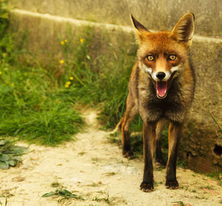 canid: Young and friendly Red Fox standing besides a walls and looking forward at the camera with open mouth and red tong visible. Vulpes vulpes. Stock Photo
