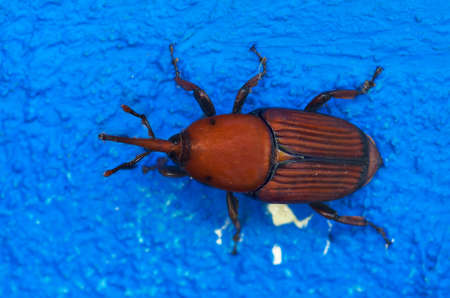 weevil: Red Palm Weevil standing over a bright vivid blue wall. A pest of Palm Trees. Rhynchophorus ferrugineus.