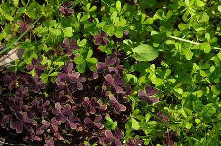three leaf: Wild three leaf clovers of two different colours, purple and green, forming a carpet on the ground.