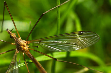 venation: Detail of the head, eyes and wing veins of a Crane fly over green grass. Tipulidae family. Tipula sp.