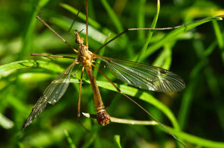 teared: Old Crane fly overview, with a partially teared wing, over green grass. Tipulidae family. Tipula sp.