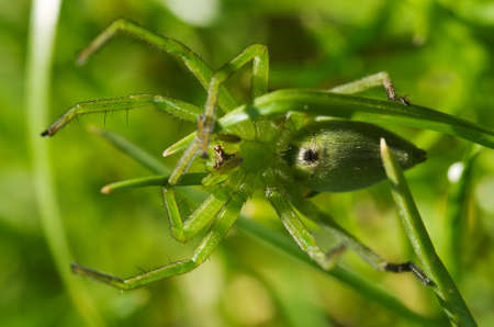 araneae: Ventral, detailed view, of a large green female Huntsman spider. Sparassidae family. Micrommata ligurina.