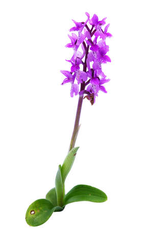 Wild Early Purple Orchid (Orchis mascula) isolated over a white background. Full plant. Arrabida mountains, Portugal.