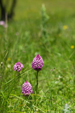 Three pink Pyramidal wild orchids on a green field of weeds � Anacamptis pyramidalis. Sintra, Portugal.