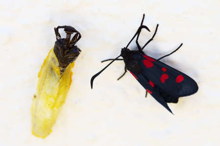 Five Spot Burnet moth (Zygaena trifolii) set on a white wall next to her empty chrysalis shell. Milfontes, Portugal. Stock Photo