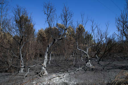 Olive trees burnt to the ground in a massive forest fire near the small village of Lameira Cimeira. Blue sky. Pedrogao Grande, Portugal. Stock Photo