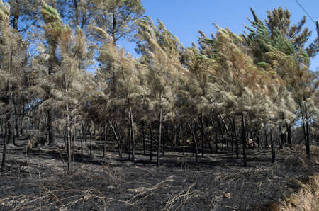 Young pine trees burnt by the fire and bend by the wind of a firestorm near the small village of Lameira Cimeira. Pedrogao Grande, Portugal. Stock Photo